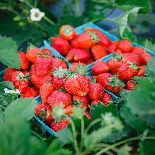 U-Pick strawberries at our 3 pick-your-own strawberry fields!