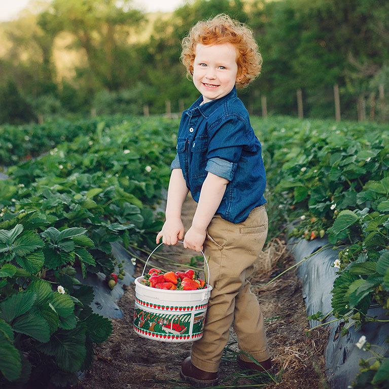 Pick-your-own strawberries in our u-pick strawberry fields!