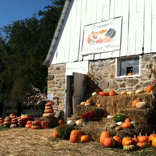 Farm fresh pumpkins available pre-picked, u-pick, and wholesale!